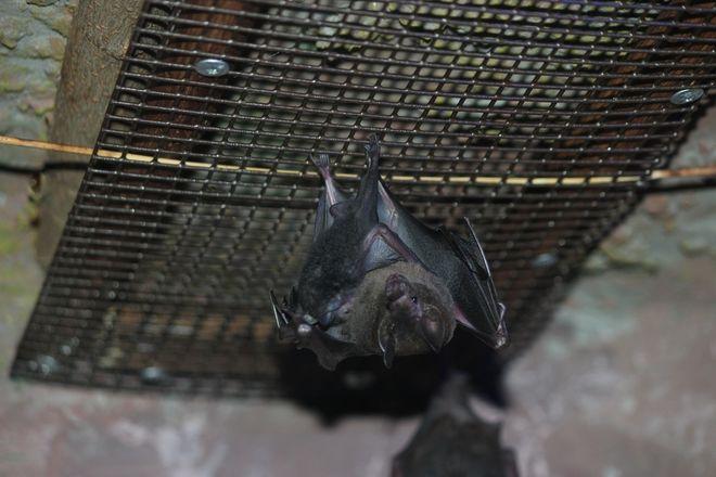 Очковый листонос родился в нижегородском зоопарке - фото 3