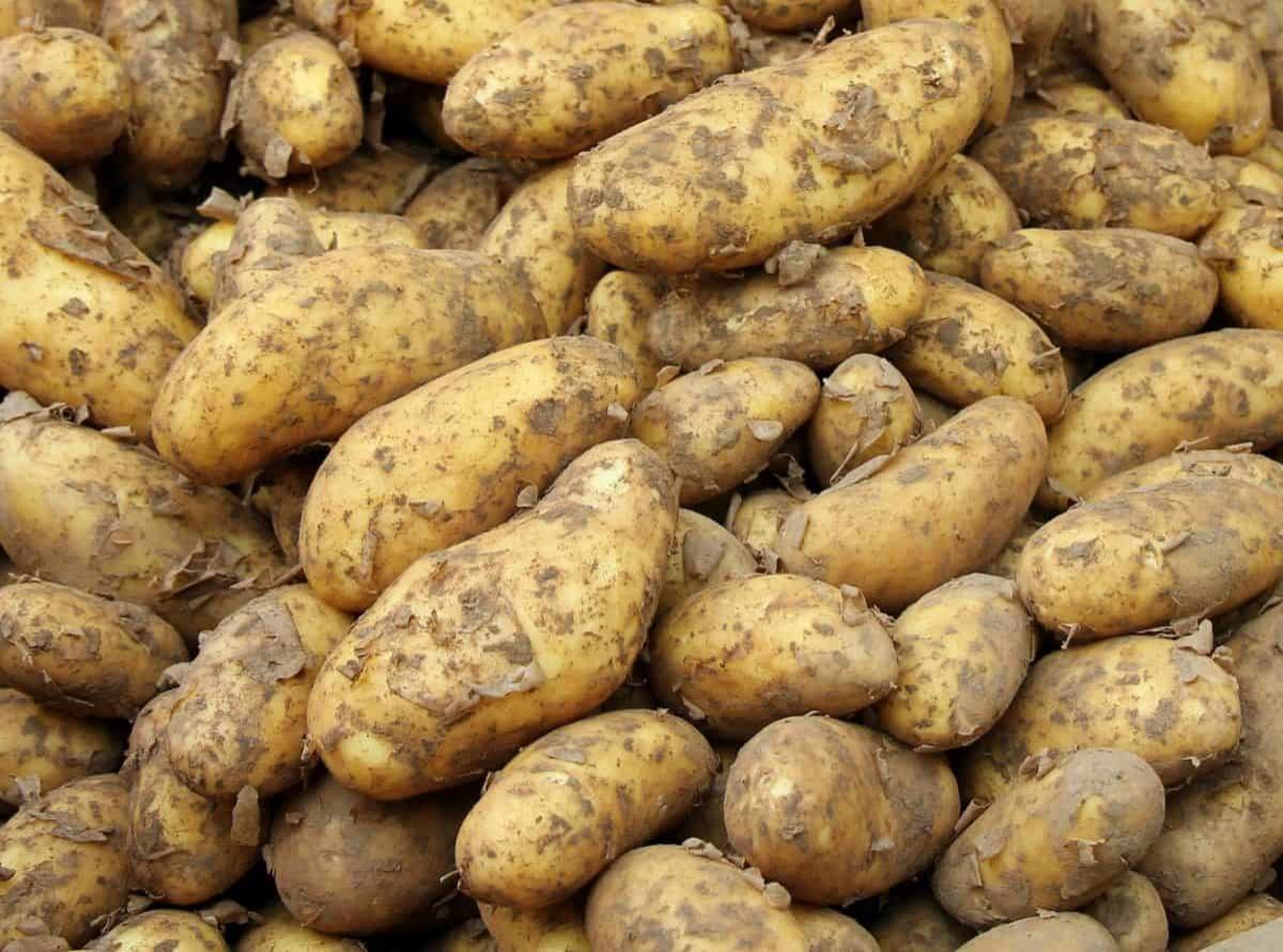 Свыше 700 тысяч тонн картофеля заготовлено в Нижегородской области к началу ноября - фото 1