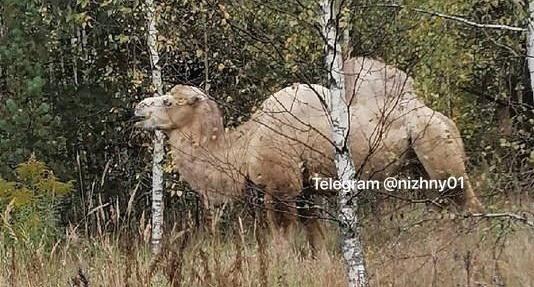 Нижегородец вместо грибов нашел верблюда в борском лесу - фото 1