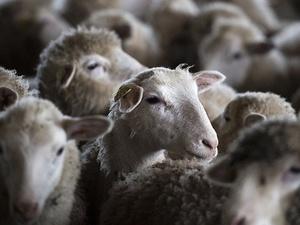 Два десятка овец погибли при пожаре в Бутурлинском районе