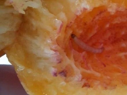 Опасный вредитель обнаружен на привезенных в Дзержинск нектаринах